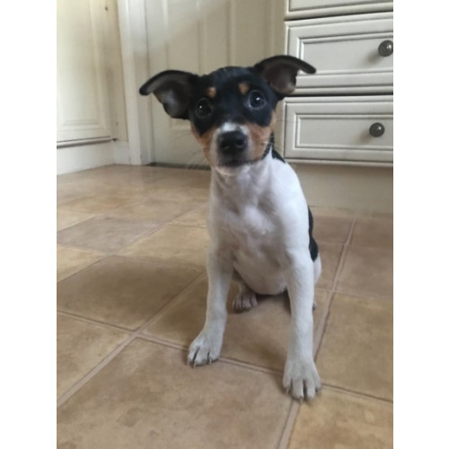 Alvarado Rat Terrier