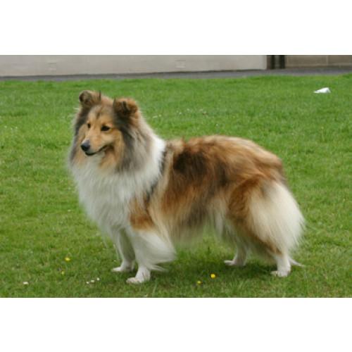 Berger  Shetland Sheepdog