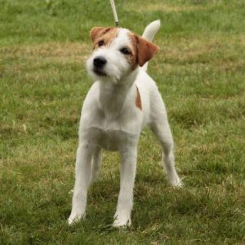 Goldmark  Parson Russell Terrier