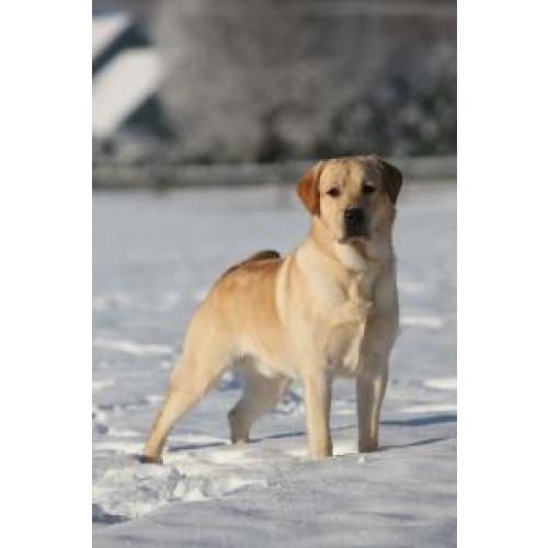 Cornerstone Labradors