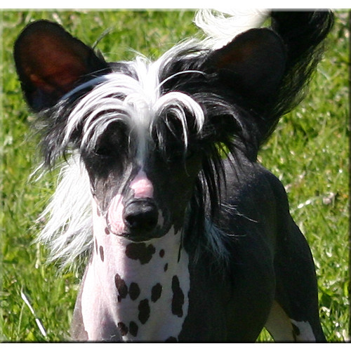Smithville Chinese Crested