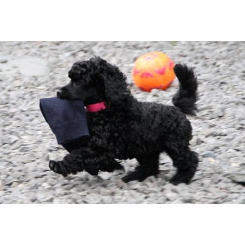 Walter  Miniature Poodle